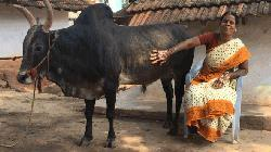 Indian woman who chose a bull over marriage
