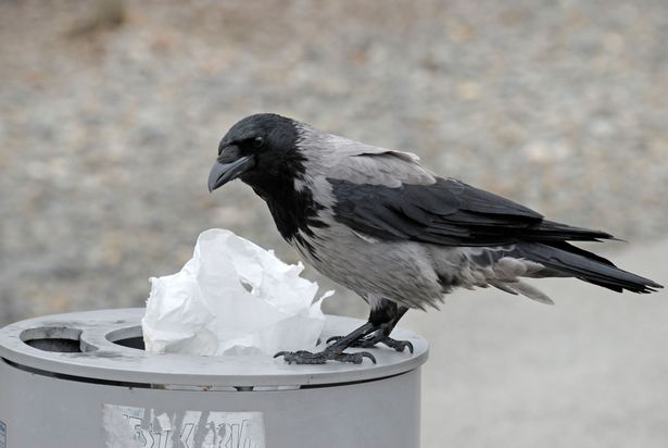 Crows trained to pick up cigarette butts, put in bin